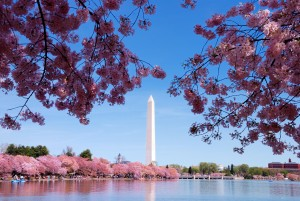 Cherry blossoms and Washington Monument over lake, Washington, DC