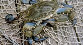 Award winning photograph of a blue crab taken by Air Force Veteran Ed Waldrop.