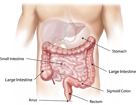 graphic of abdomen internal organs